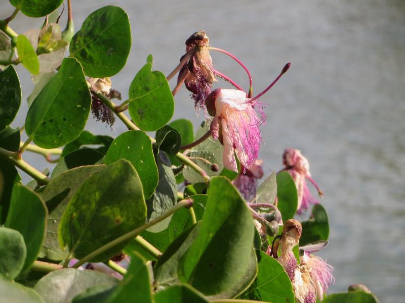 kwiaty_kaparow_moja_toskania_bagno_vignoni