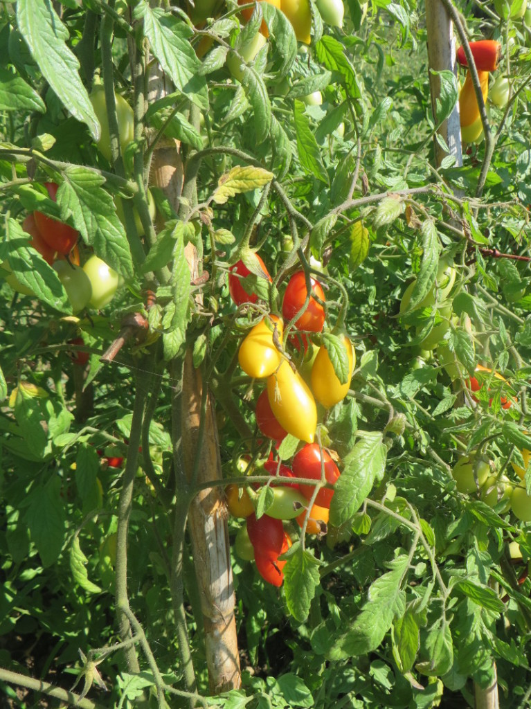 rosnace_male_pomidorki_moja_Toskania