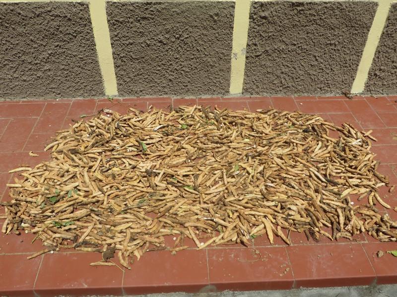 Suszenie strakow fasoli