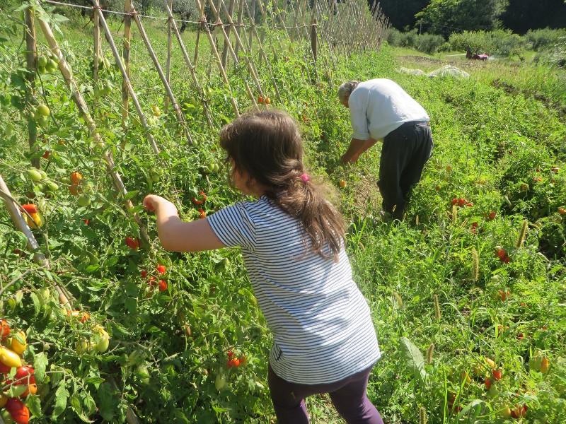 zbieranie_pomidorow_moja_Toskania