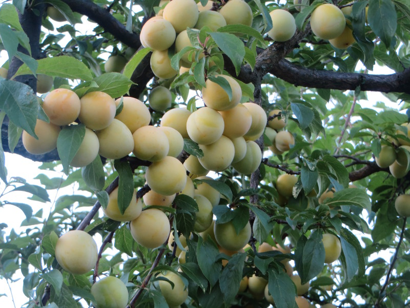 zolte_renklody_na_drzewie_moja_toskania