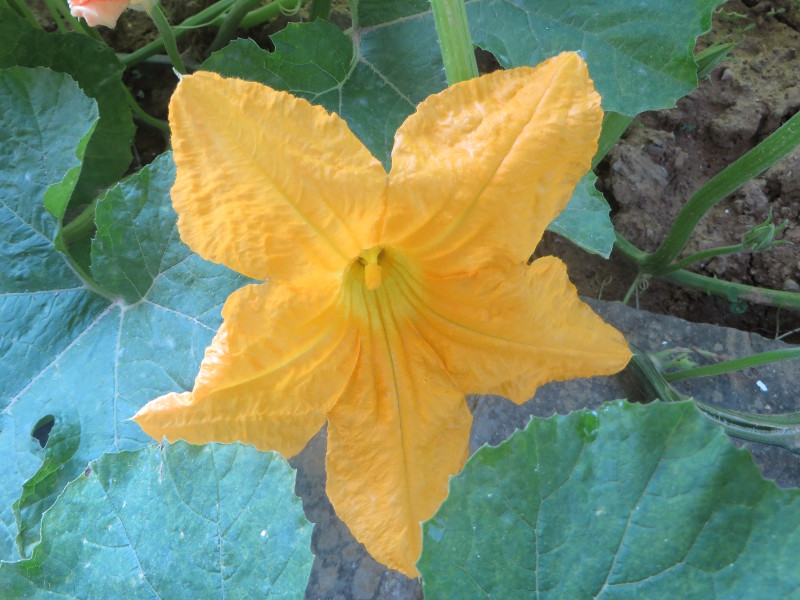 zolty_kwiat_dyni_moja_toskania