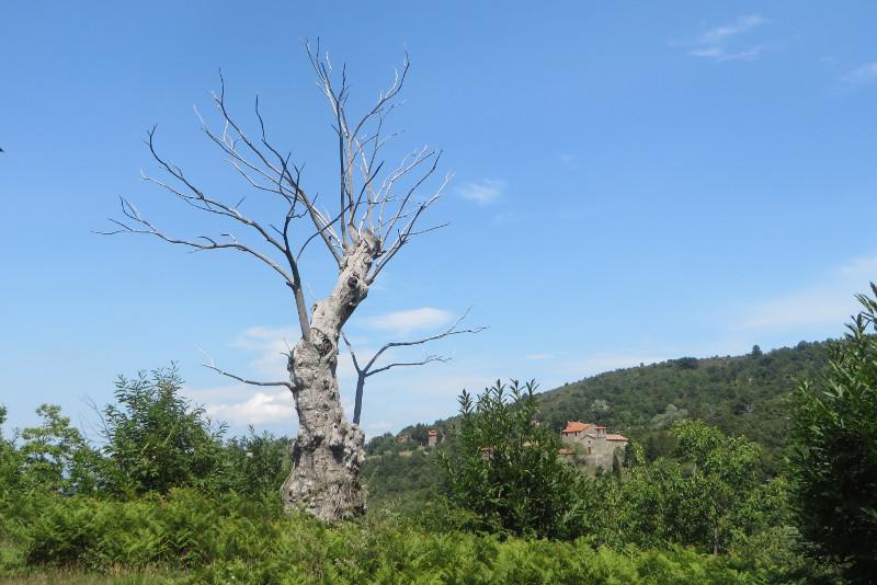 biale_drzewo_bivignano_w_tle_moja_Toskania