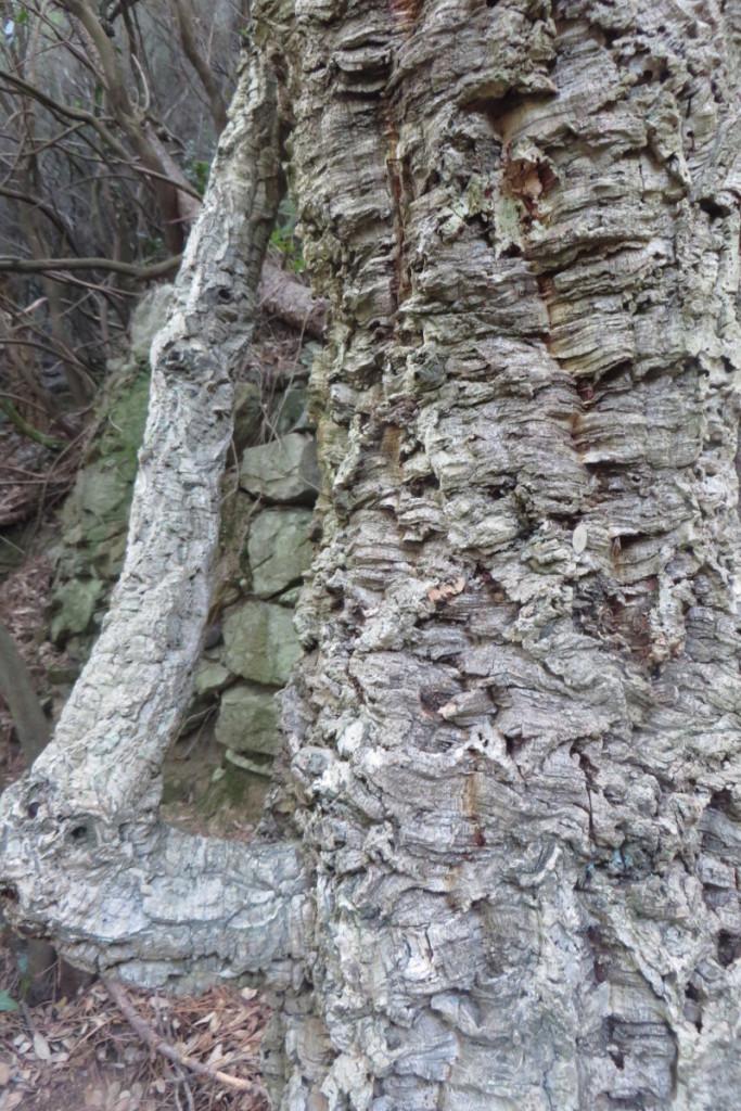 drzewo_korek_mirteto_moja_toskania