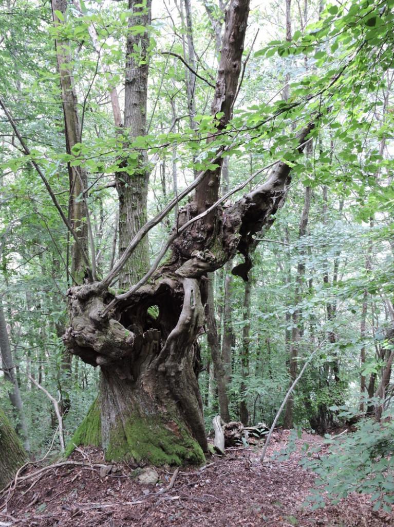 drugie_stare_drzewo_moja_toskania_col_di_favilla