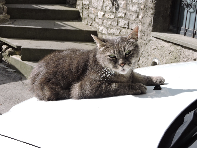 kot_na_masce_samochodu_castellazzara_moja_toskania