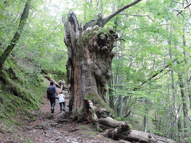 prastare_drzewo_moja_toskania_col_di_favilla