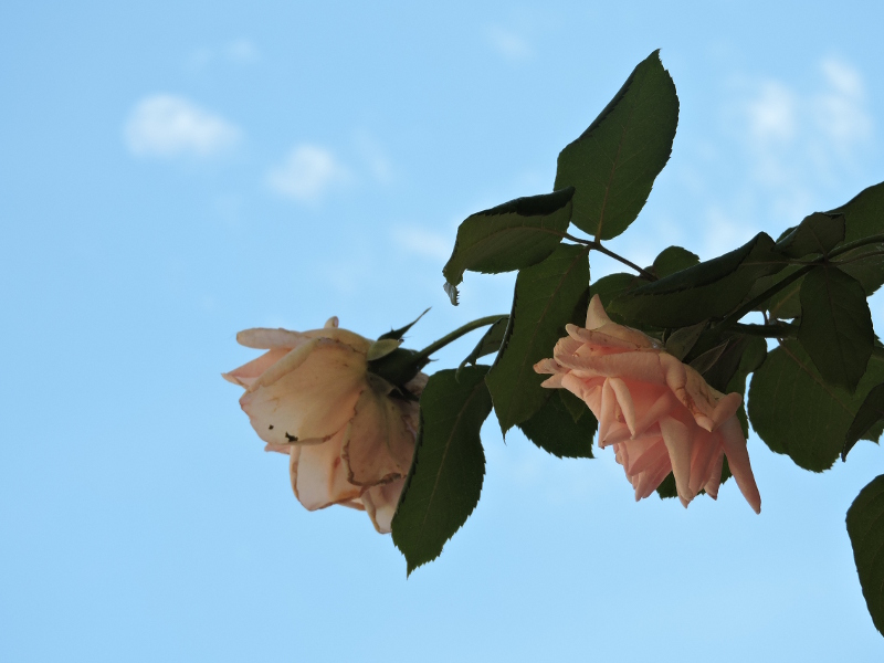 roze_moja_toskania_rocca_d_orcia