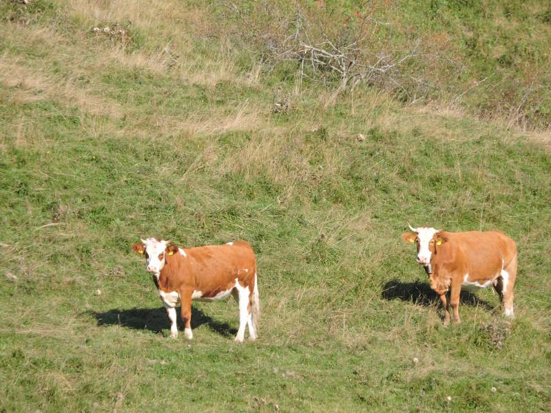 dwie_krowy_moja_toskania_monte_colombo_gora