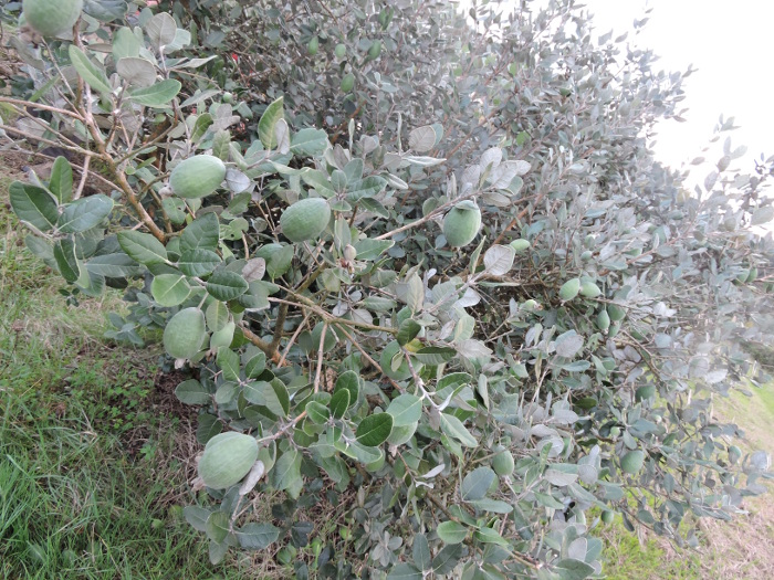 drzewo_akka_Sellowa_moja_toskania