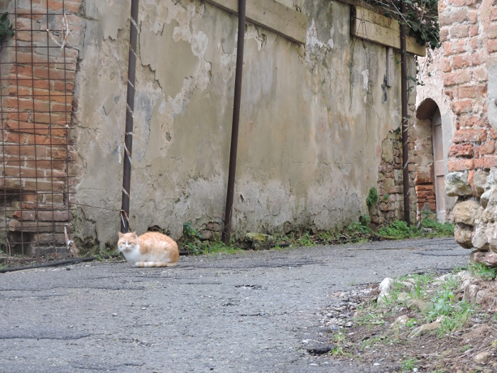 pomaranczowy_kot_toiano_moja_Toskania