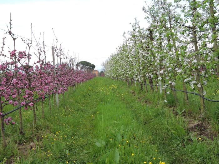 biale_i_rozowe_kwiaty_moja_Toskania