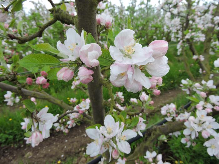 biale_kwiaty_w_sadzie_moja_toskania
