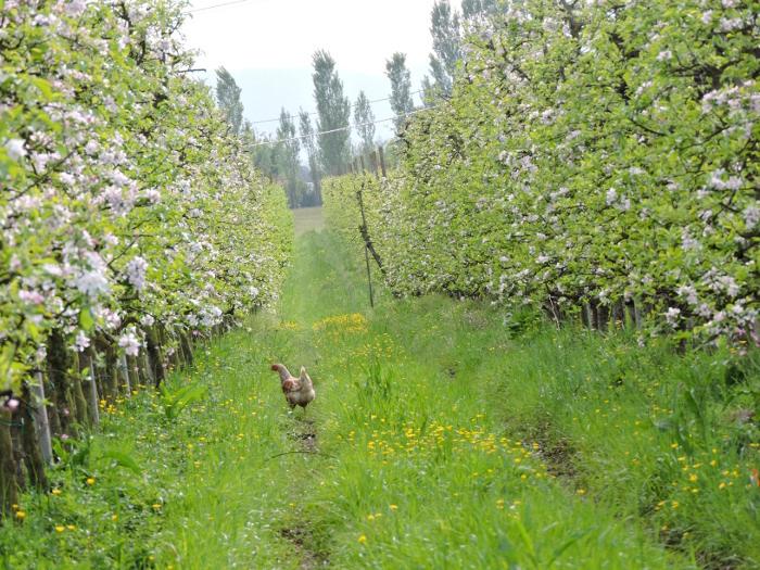 kura_w_drzewach_moja_toskania