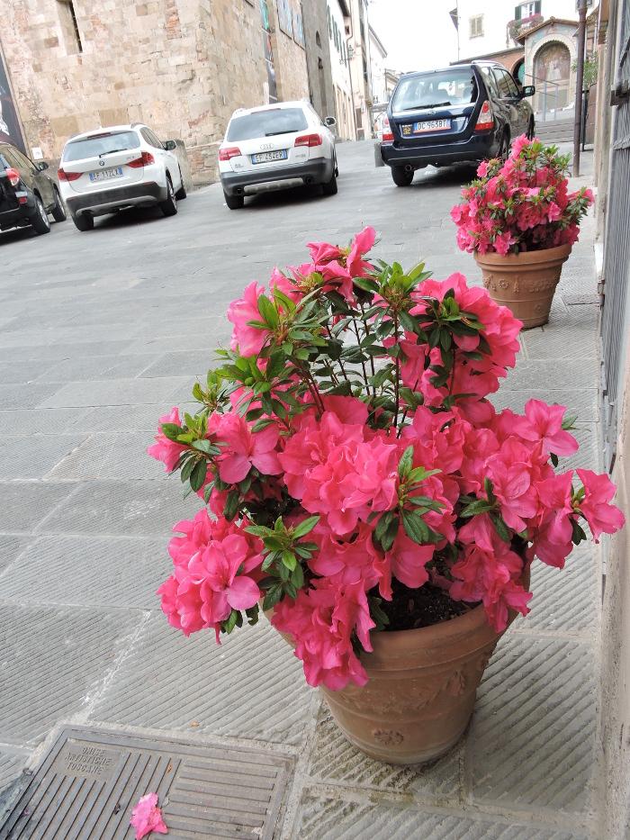 kwiaty_rozowe_moja_toskania_peccioli