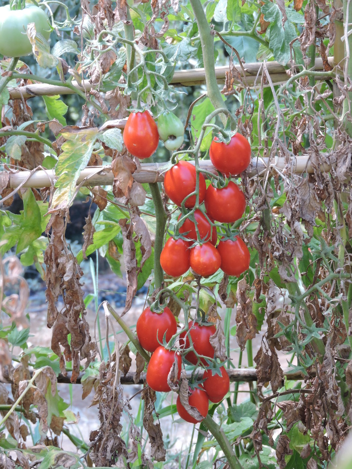 pomidorki_czeresniowe_moja_toskania