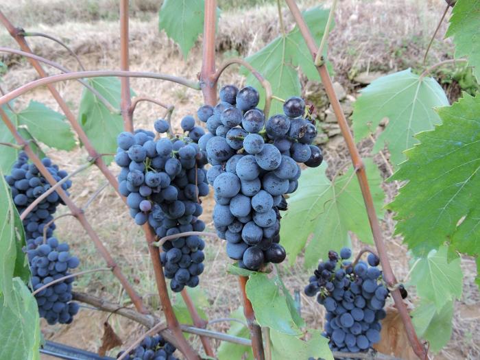 winogrona_z_bliska_moja_toskania