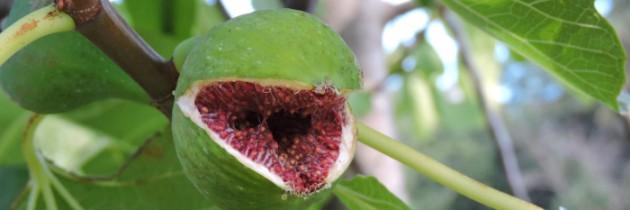 Zbieranie owoców i migdałów