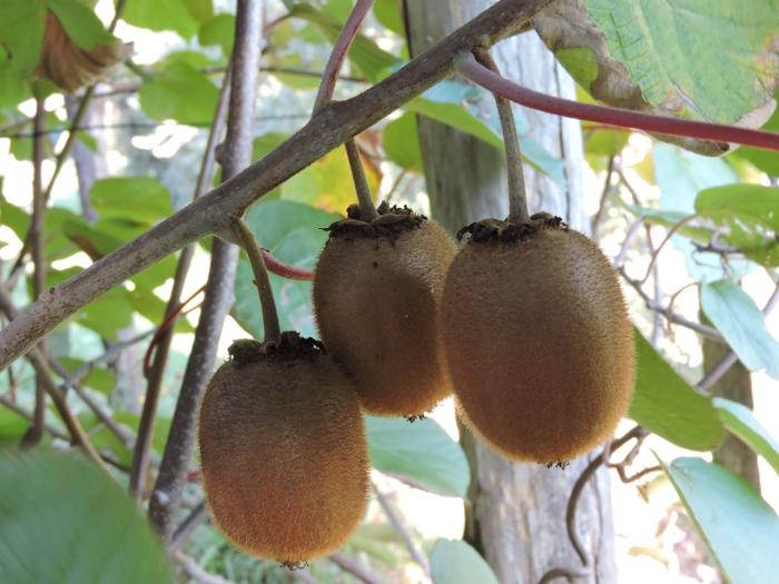 trzy_kiwi_na_drzewie_moja_Toskania