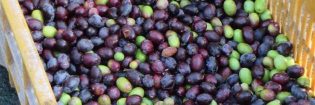 Suszone oliwki w oliwie – własny wyrób