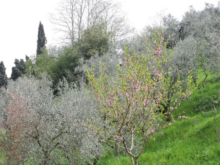 gaj_oliwny_wiosna_moja_toskania