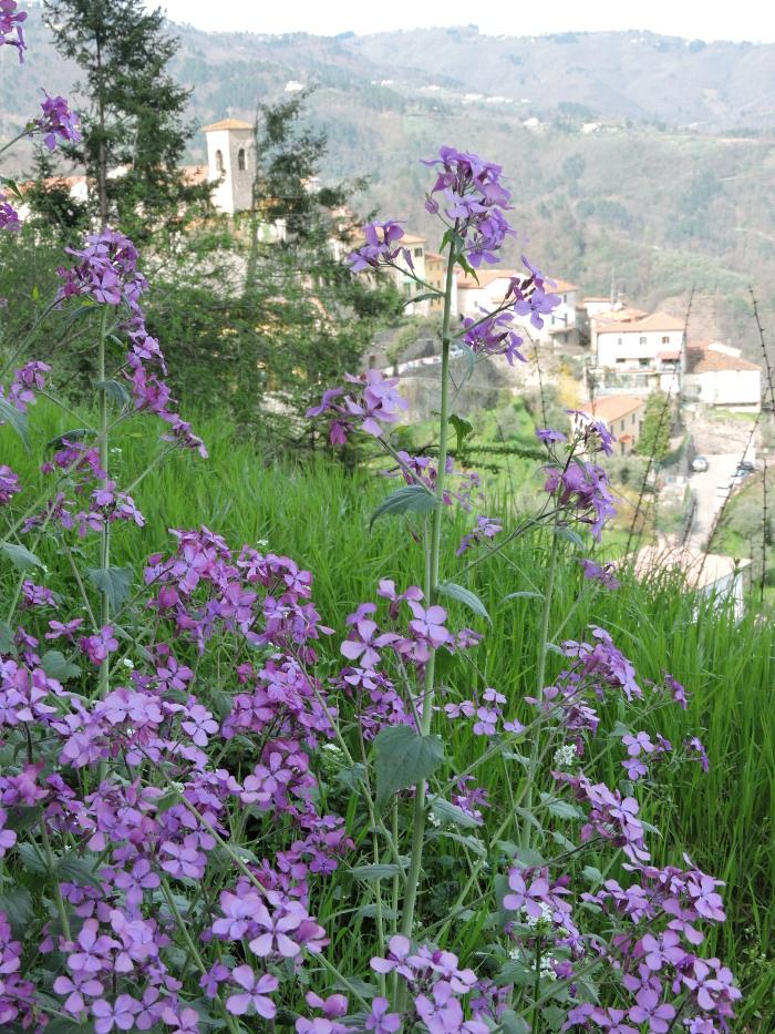panorama_marliana_kwiaty_fioletowe_moja_toskania