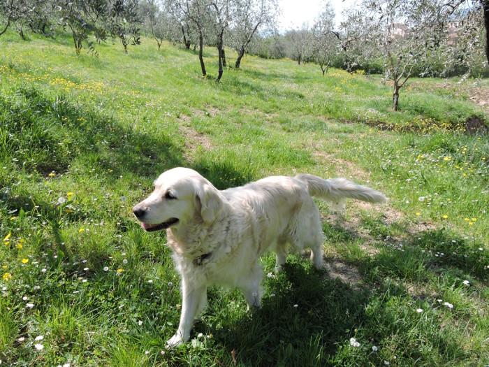 pies_kira_moja_toskania