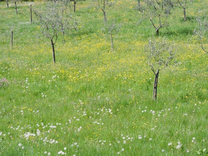 wiosna_gaj_oliwny_moja_Toskania