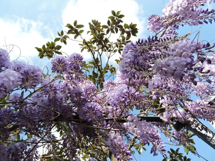 wiosna_i_wisteria_vicofaro_moja_toskania