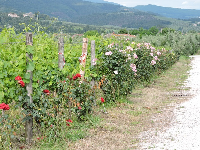 winnice_z_rozami_moja_toskania