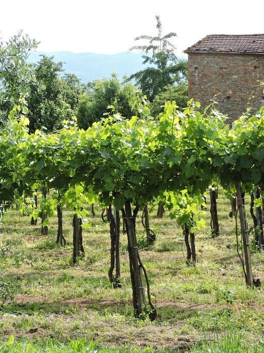 winorosle_moja_Toskania
