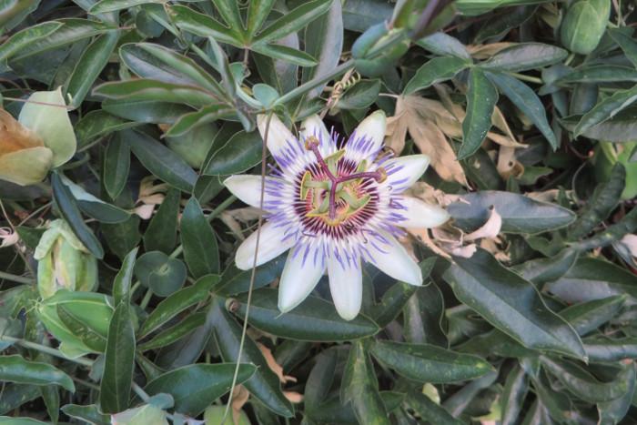 kwiat_meczennicy_moja_toskania