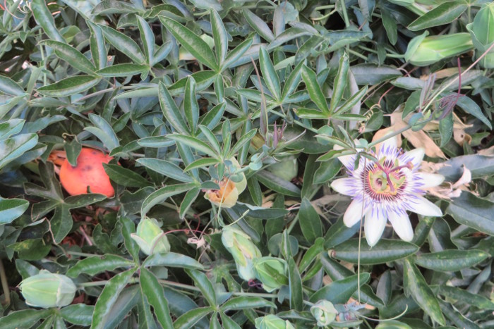 owoce_i_kwiaty_meczennicy_moja_toskania