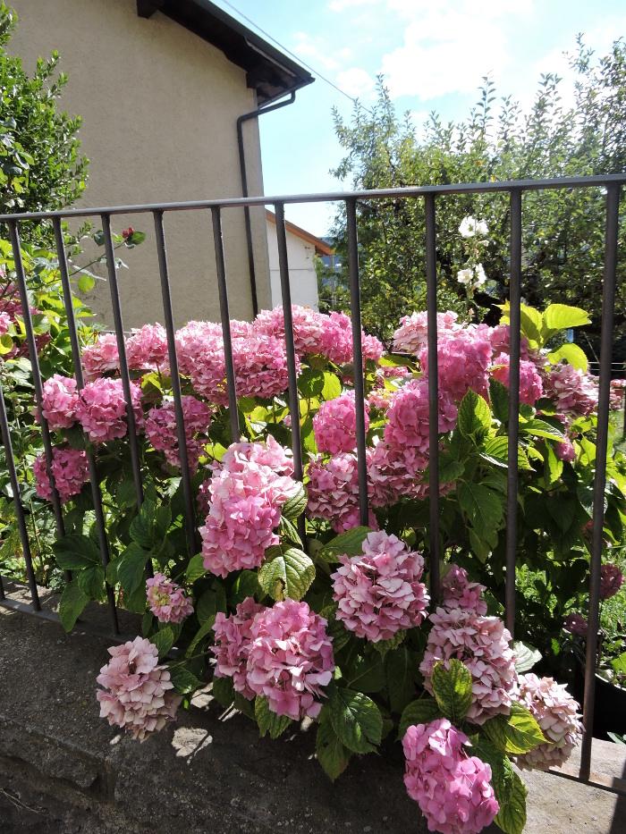 rozowe_kwiaty_moja_toskania