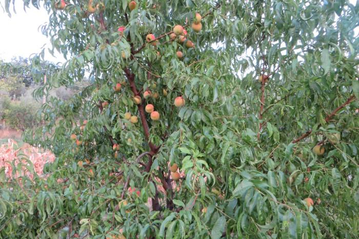 drzewo_brzoskwiniowe_moja_toskania