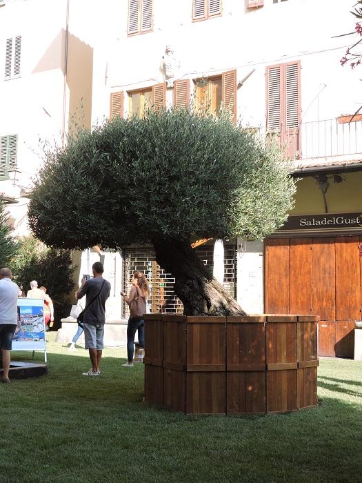 drzewo_oliwkowe_zielono_na_sali_pistoia_moja_toskania