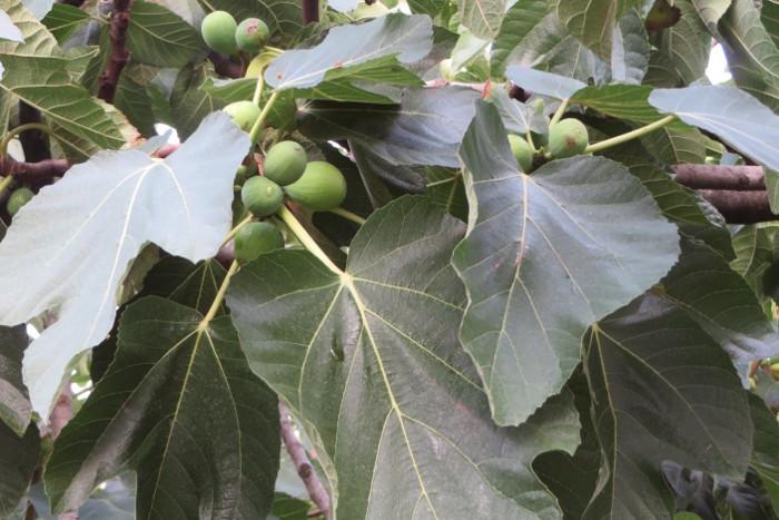 duzo_fig_moja_toskania_na_drzewie