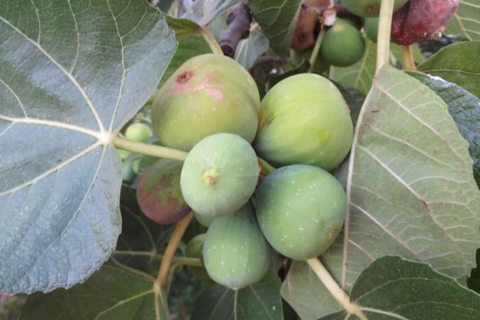 grupka_fig_na_drzewie_moja_toskania