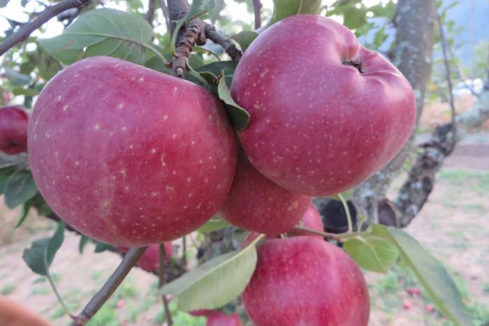 jablka_na_drzewie_moja_toskania