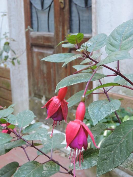 rozowe_kwiaty_fornovolasco_moja_toskania