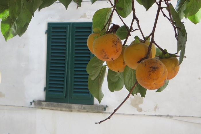 kaki_na_drzewie_moja_toskania