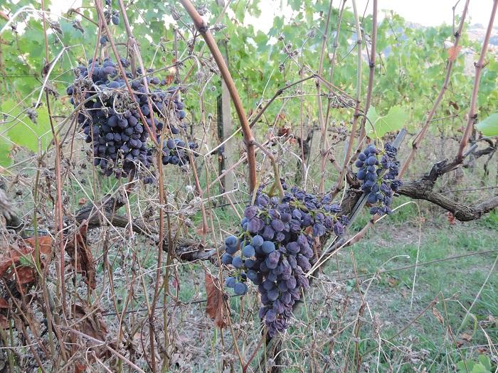 winogrona_moja_toskania