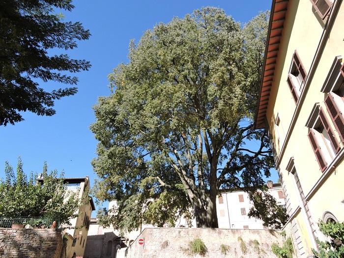 ogromne_drzewo_san_gimignano_moja_toskania